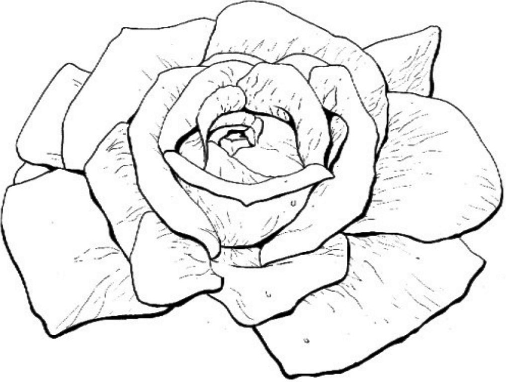 Bloomed Rose Drawing at GetDrawings   Free download