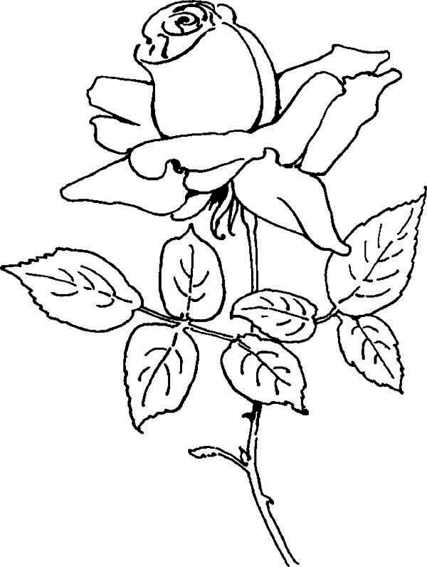 600x796 Blooming Rose Coloring Page