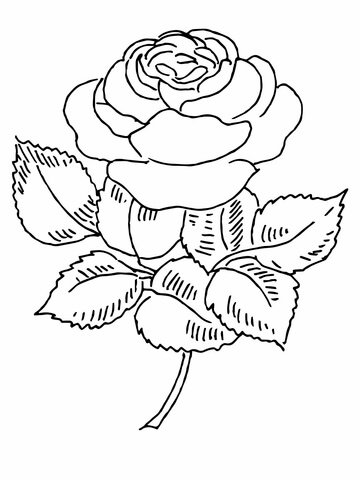 360x480 Blooming Rose Coloring Page Free Printable Coloring Pages