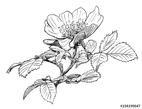 500x383 Vector Artistic Pen And Ink Hand Drawing Of Wild Rose Branch