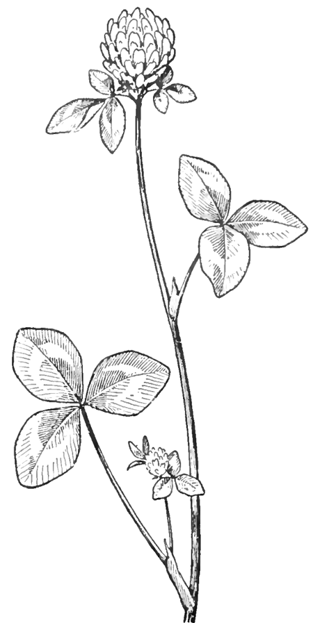 450x897 How To Draw Clover Blossoms A Flower Drawing Tutorial