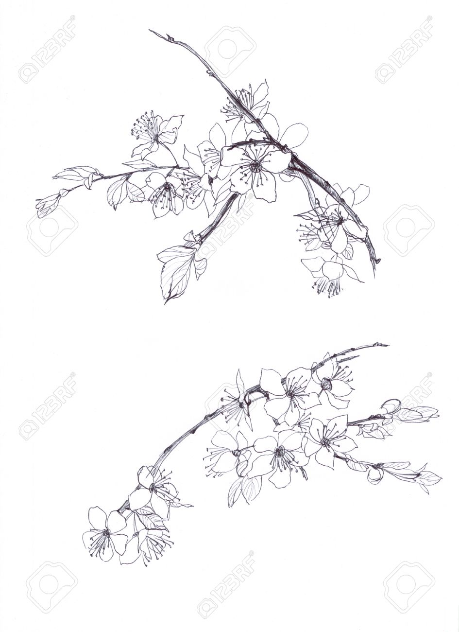 945x1300 Cherry Blossom Hand Drawn Pencil Stock Photo, Picture And Royalty