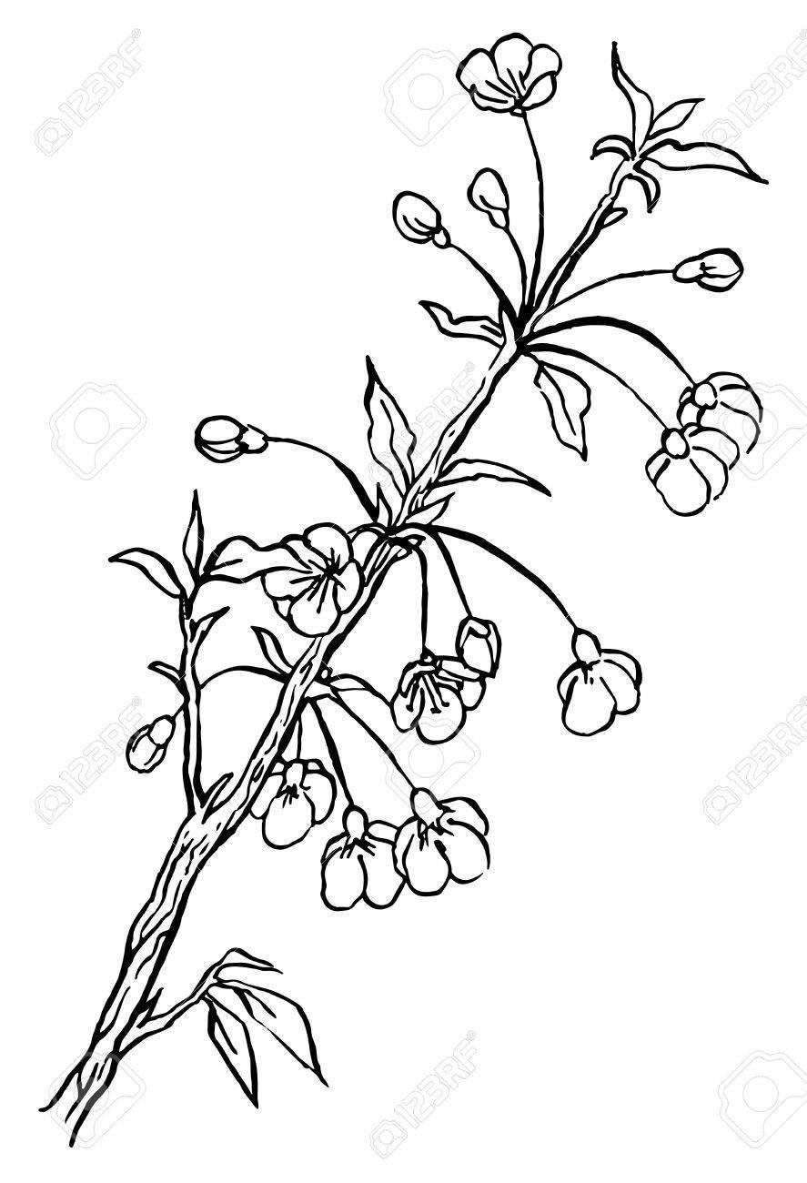 887x1300 Hand Drawing Cherry Tree Or Sakura Branch In Blossom Line Art