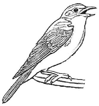 334x359 Eastern Bluebird Coloring Page Eastern Bluebird Coloring Sheet