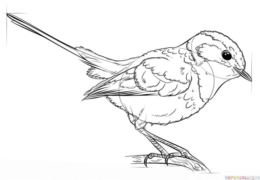 828x575 How To Draw A Blue Wren Step By Step Drawing Tutorials