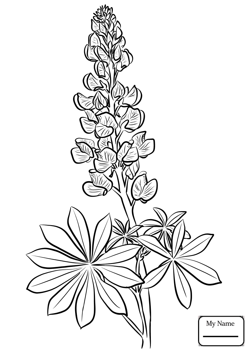 865x1224 Flowers Lupine Coloring Pages