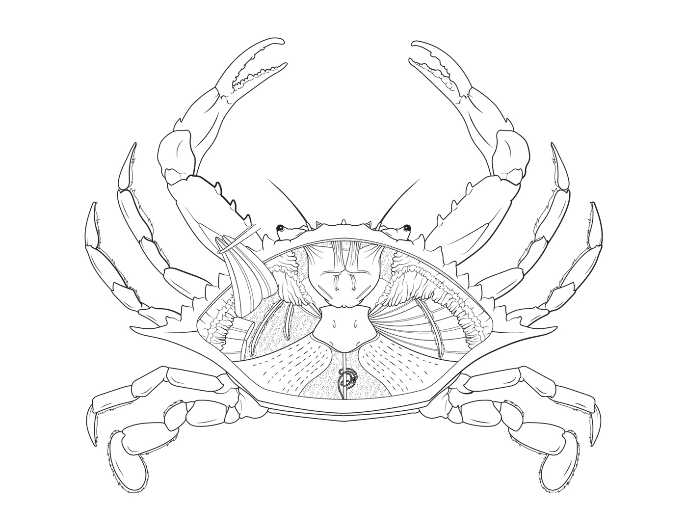 1400x1082 Blue Crab Dissection Plate On Behance