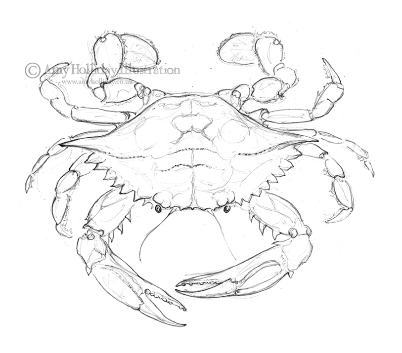 813x715 Amy Holliday Illustration Sketchbook Atlantic Blue Crab Drawing