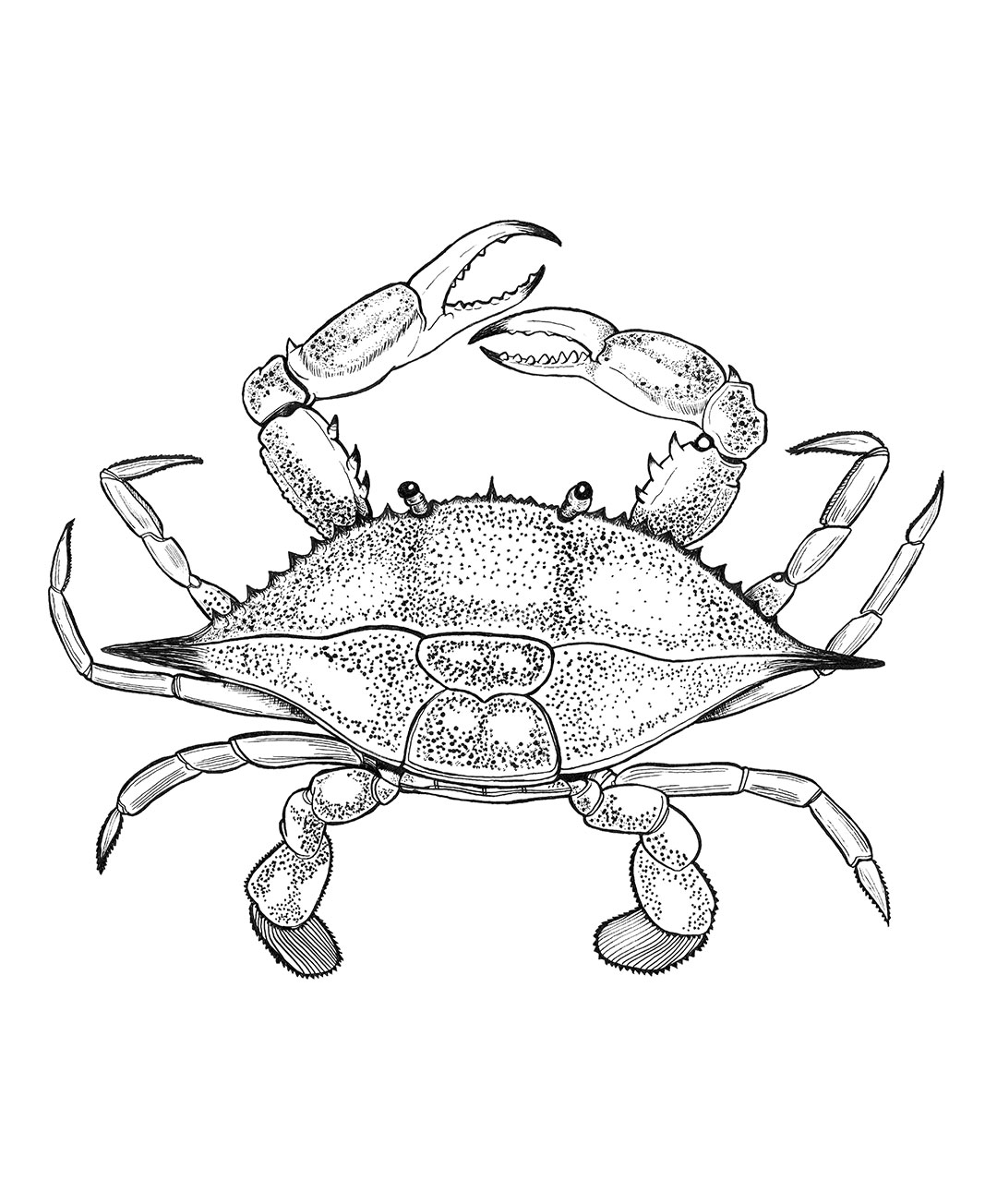 This is a picture of Peaceful Blue Crab Drawing
