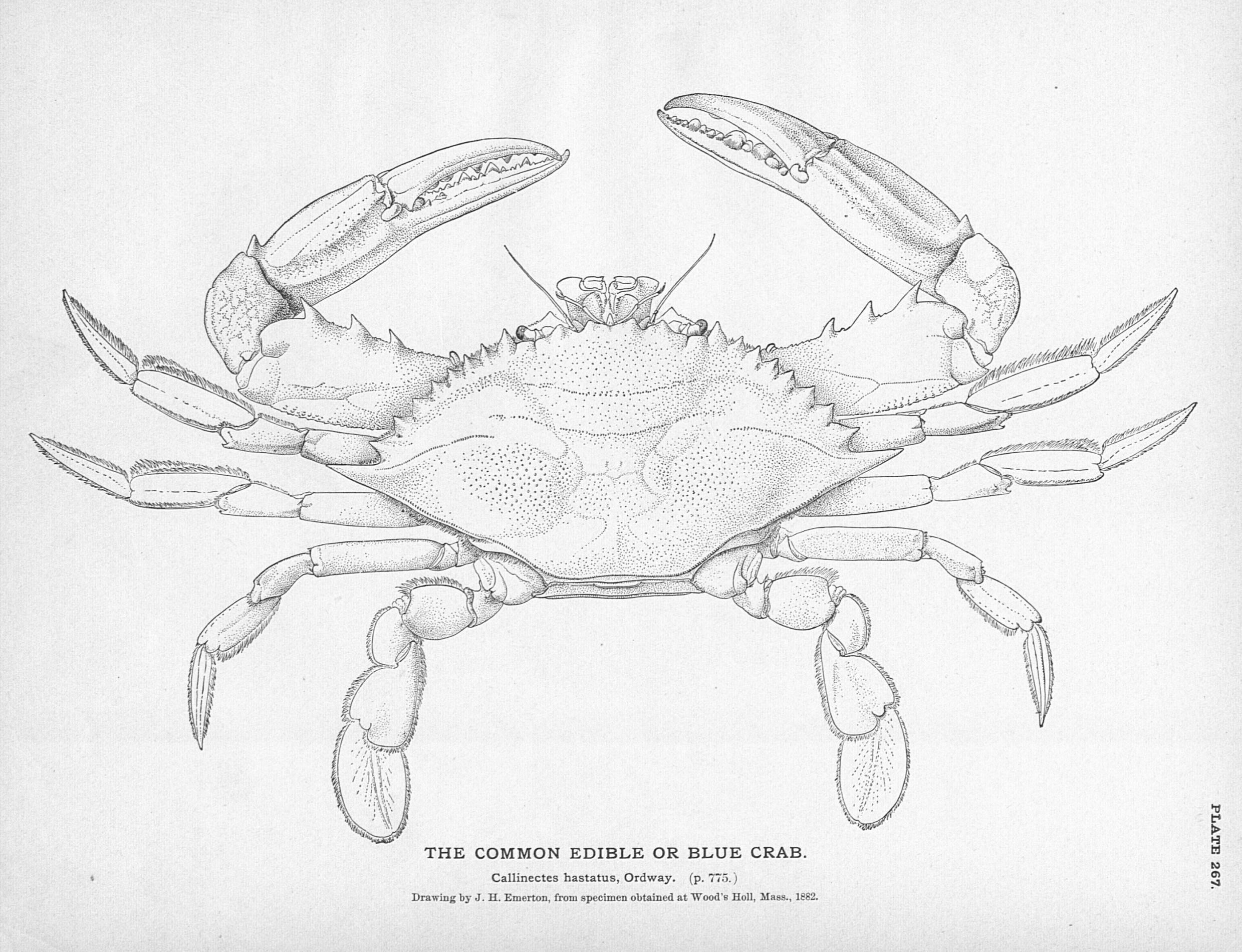 2479x1899 Animal Crustacean Crab Black And White Blue Crab (Female