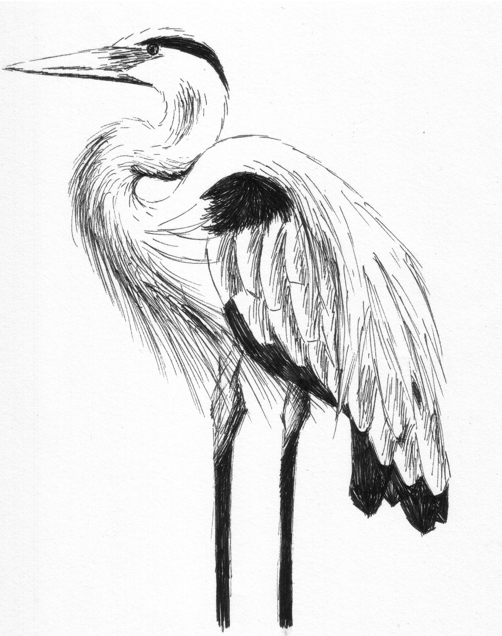 1662x2104 Great Blue Heron By Stupid Fridge