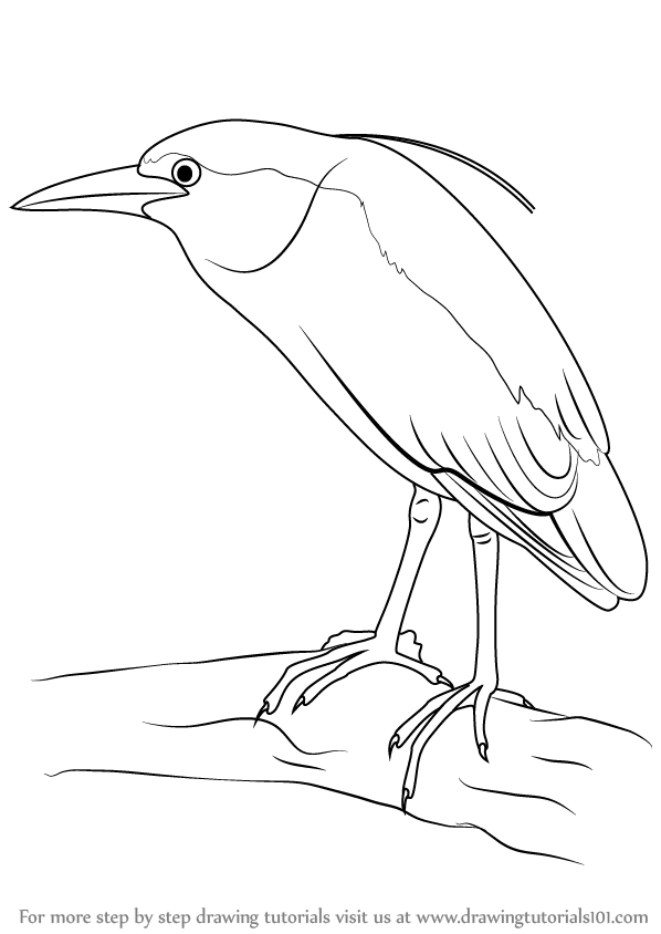 598x844 Learn How To Draw A Black Crowned Night Heron (Birds) Step By Step