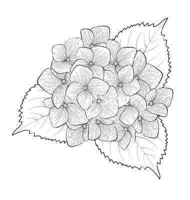 Blue Hydrangea Drawing