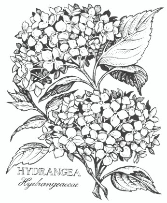 346x420 Hydrangea Flower Flower Hydrangea Flower And Hydrangea