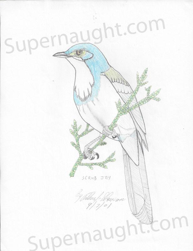 Blue Jay Bird Drawing