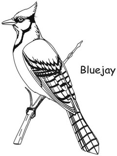 Blue Jay Drawing