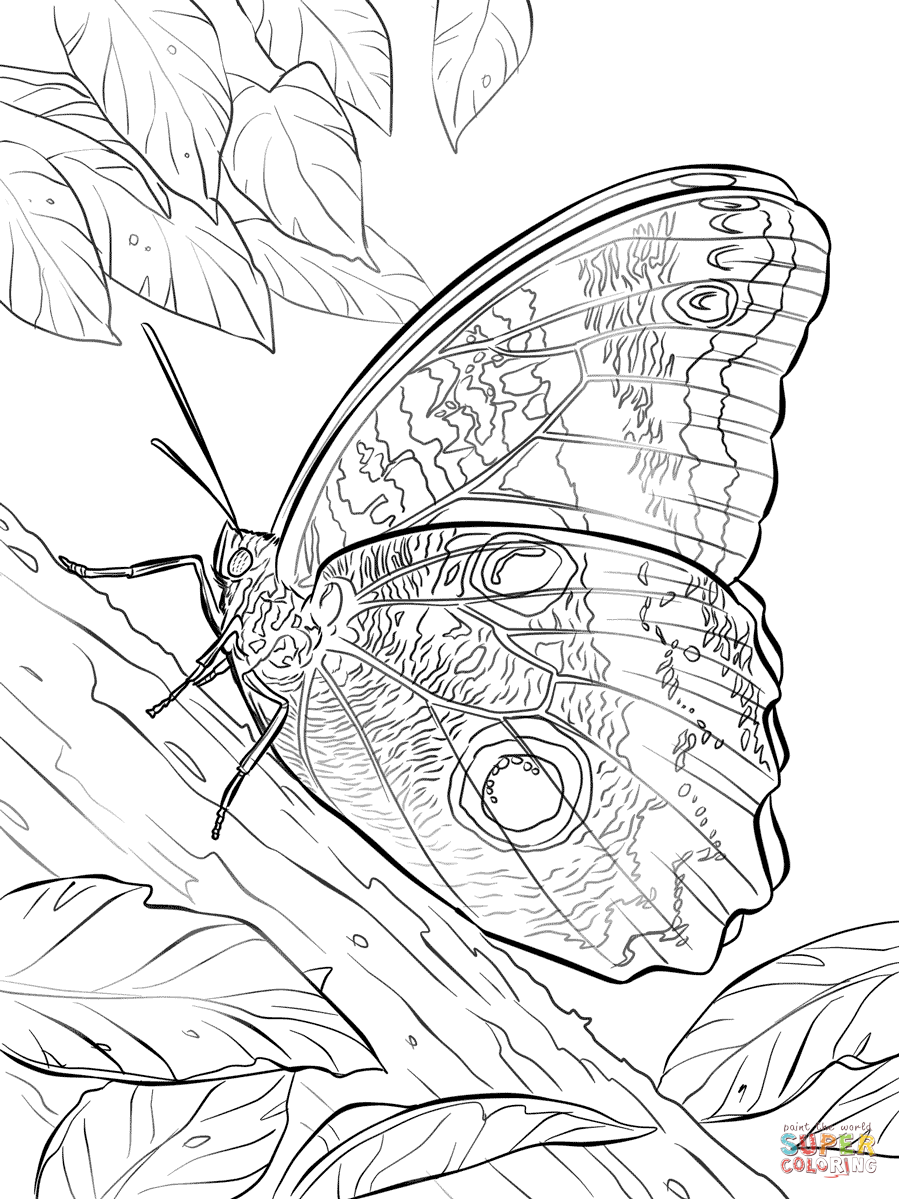 899x1199 Giant Blue Morpho Butterfly Coloring Page Free Printable