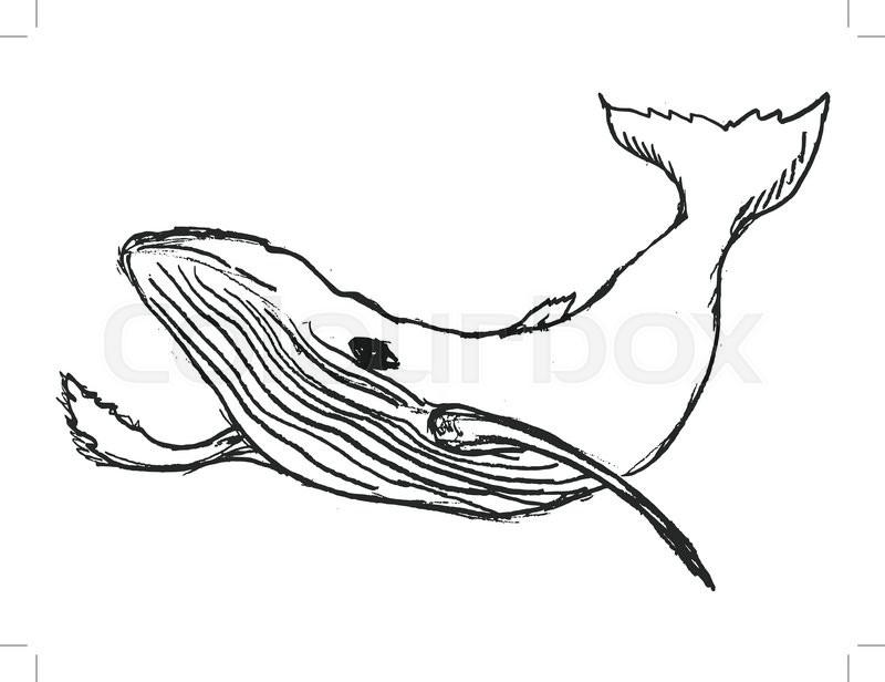 800x616 Whale, Big Mammal Of Ocean, Wildlife, Blue Whale, Sea Animal