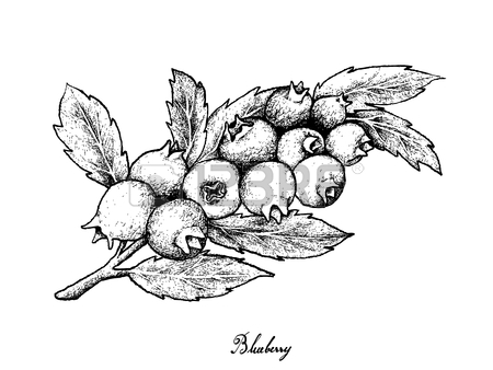450x338 229 Blueberry Bush Stock Illustrations, Cliparts And Royalty Free