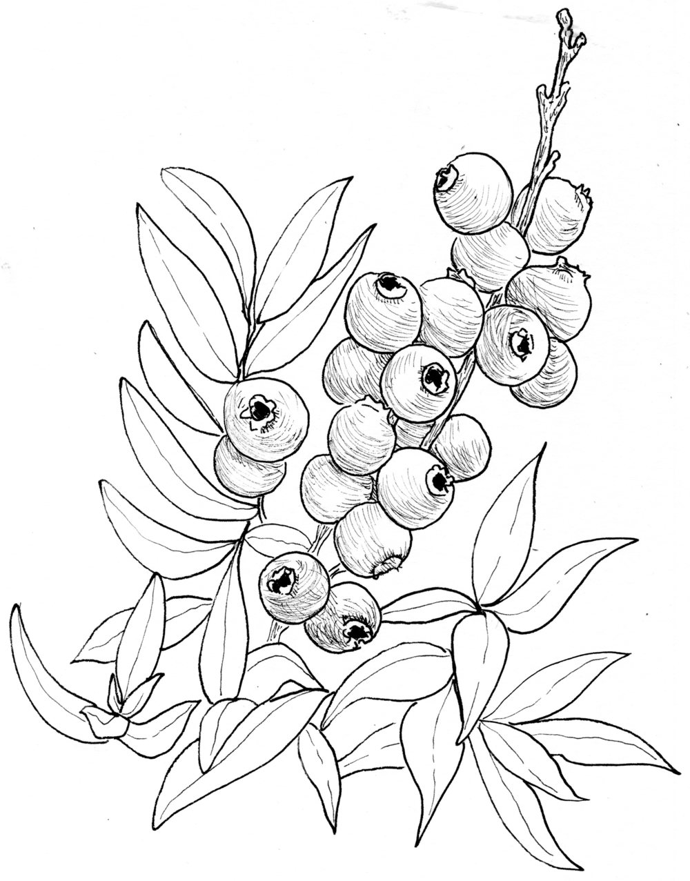 1000x1277 Image Result For Blueberry Drawings Spring 2017