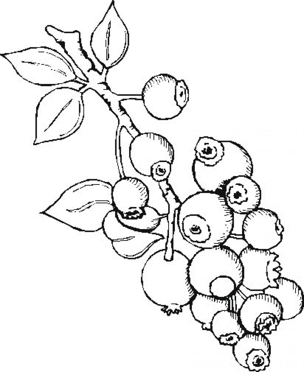Blueberry bush drawing at free for for Blueberry coloring page