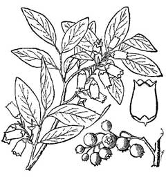 240x256 Vaccinium Corymbosum High Bush Blueberry, American Blueberry