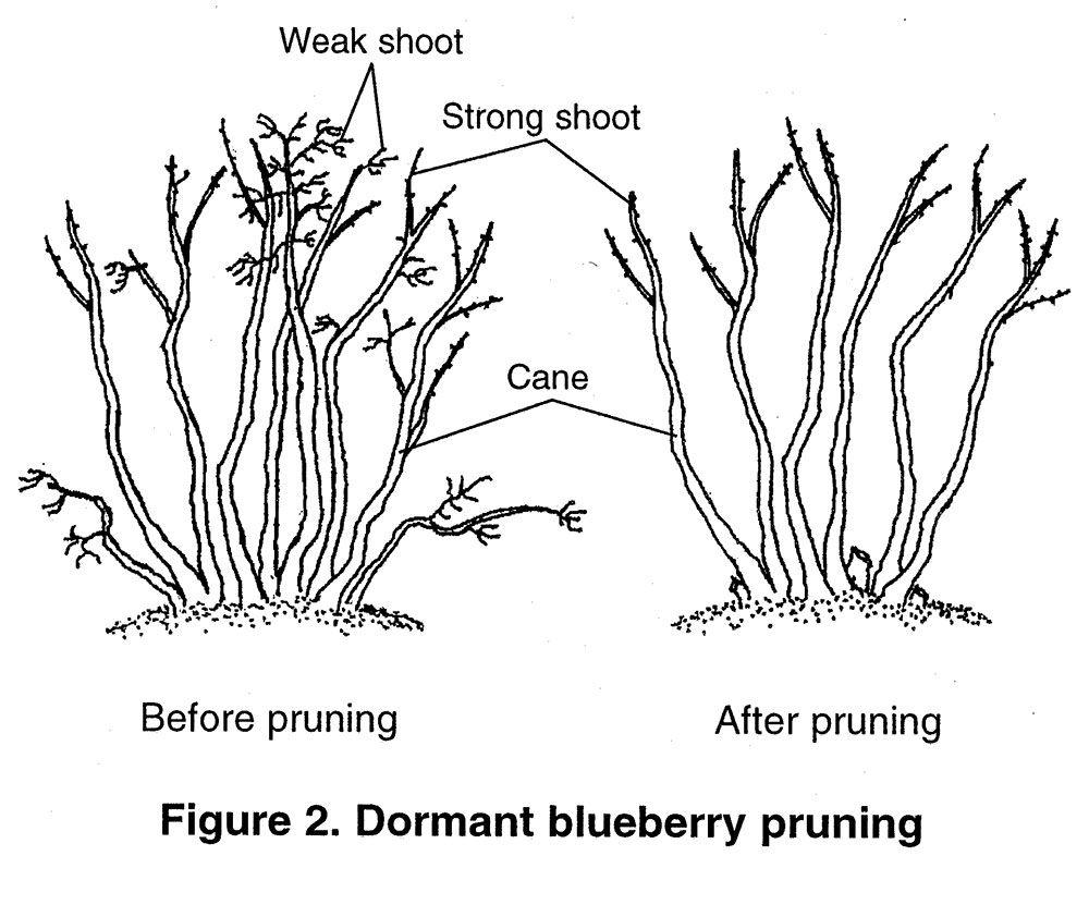 1000x842 Best Highbush Blueberry Ideas On Blueberry Plant