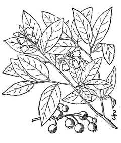 240x282 Vaccinium Vacillans Dryland Blueberry Pfaf Plant Database