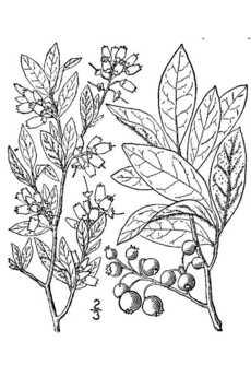 230x345 Botanical Sketch Of Blueberry Plant Kid Stuff
