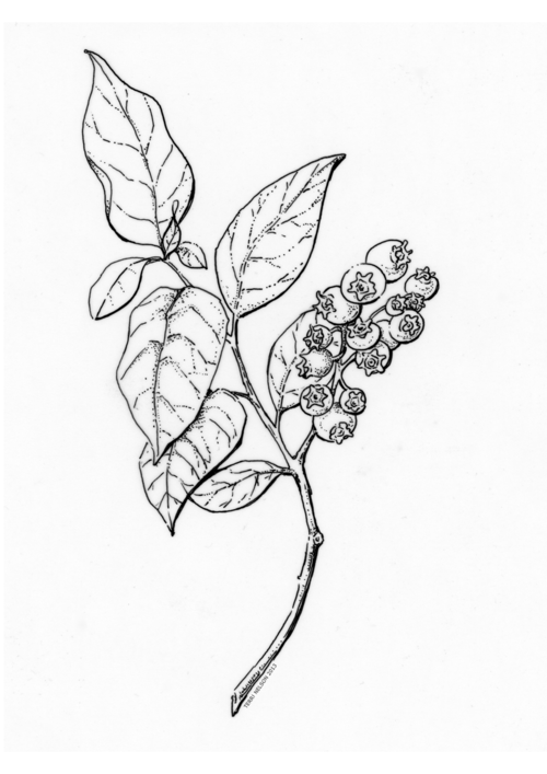 500x707 Line Drawing Blueberry