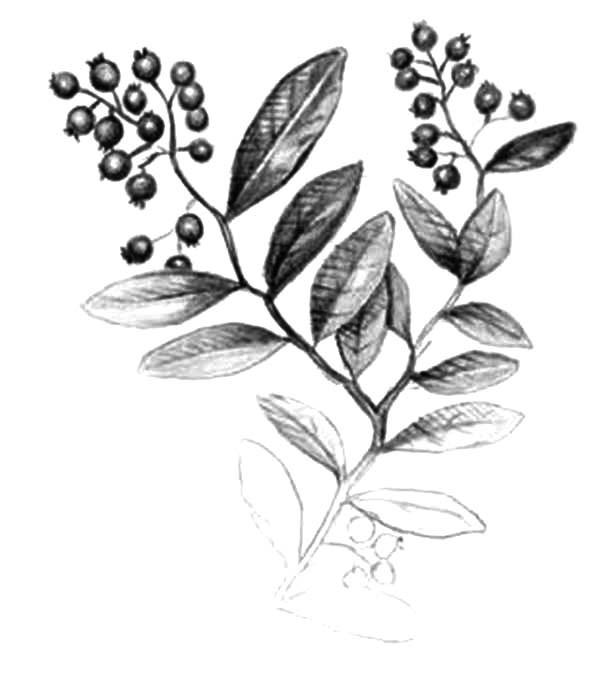 600x677 Blueberry Bush Pencil Sketch Coloring Pages Best Place To Color