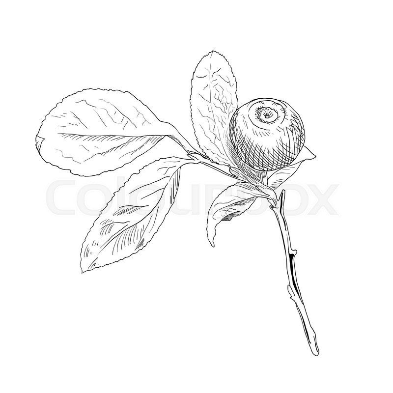 800x800 Hand Drawn Branch Of Black And White Vector Blueberry With A One