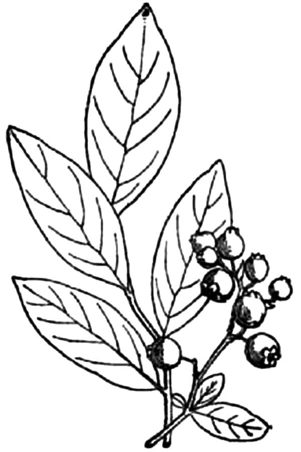 600x900 How To Draw Blueberry Bush Coloring Pages Best Place To Color
