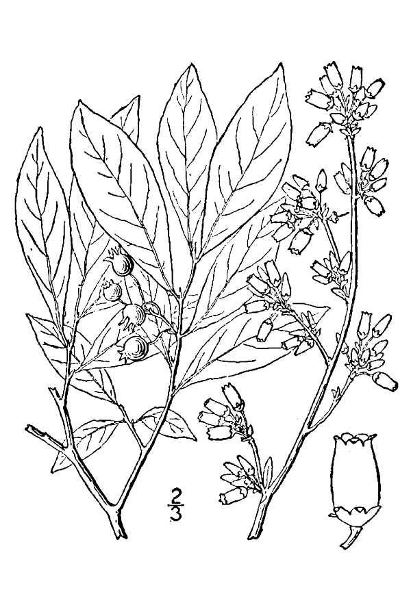 600x900 Large Image For Vaccinium Virgatum (Smallflower Blueberry) Usda