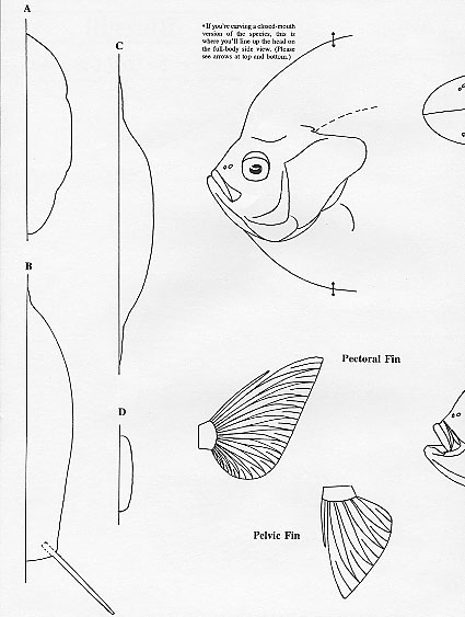 bluegill drawing at getdrawings com