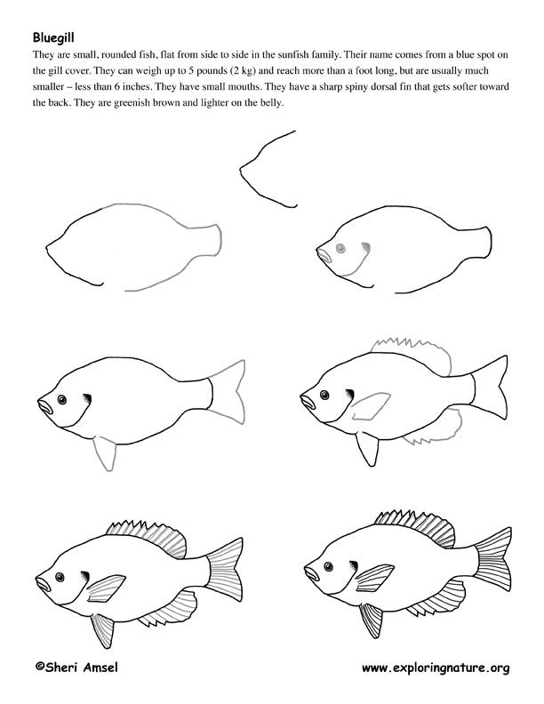 612x792 Bluegill (Fish) Drawing Lesson