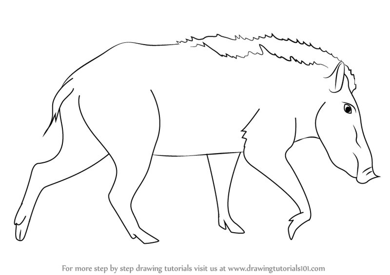 800x566 Learn How To Draw A Indian Boar (Wild Animals) Step By Step