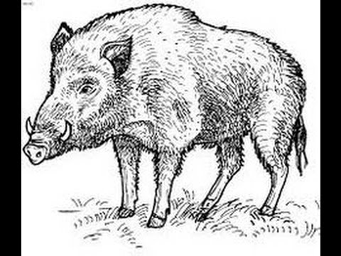 480x360 How To Draw Wild Boar Full Body Drawing Step By Step
