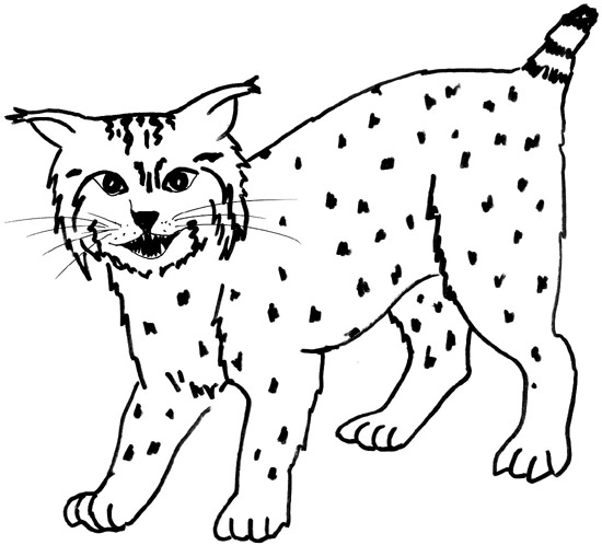 Bobcat Drawing At Getdrawings Com