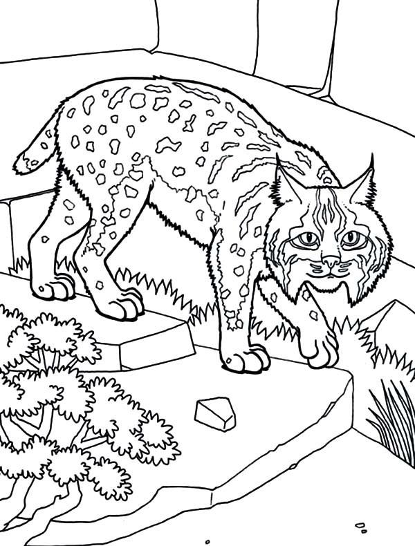 Bobcats Drawing At Getdrawings Com