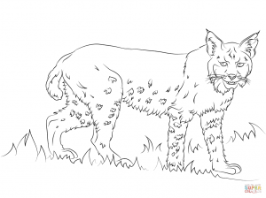 300x224 New Bobcats Coloring Pages
