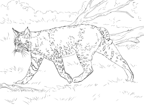 480x360 Realistic Bobcat Coloring Page Free Printable Coloring Pages