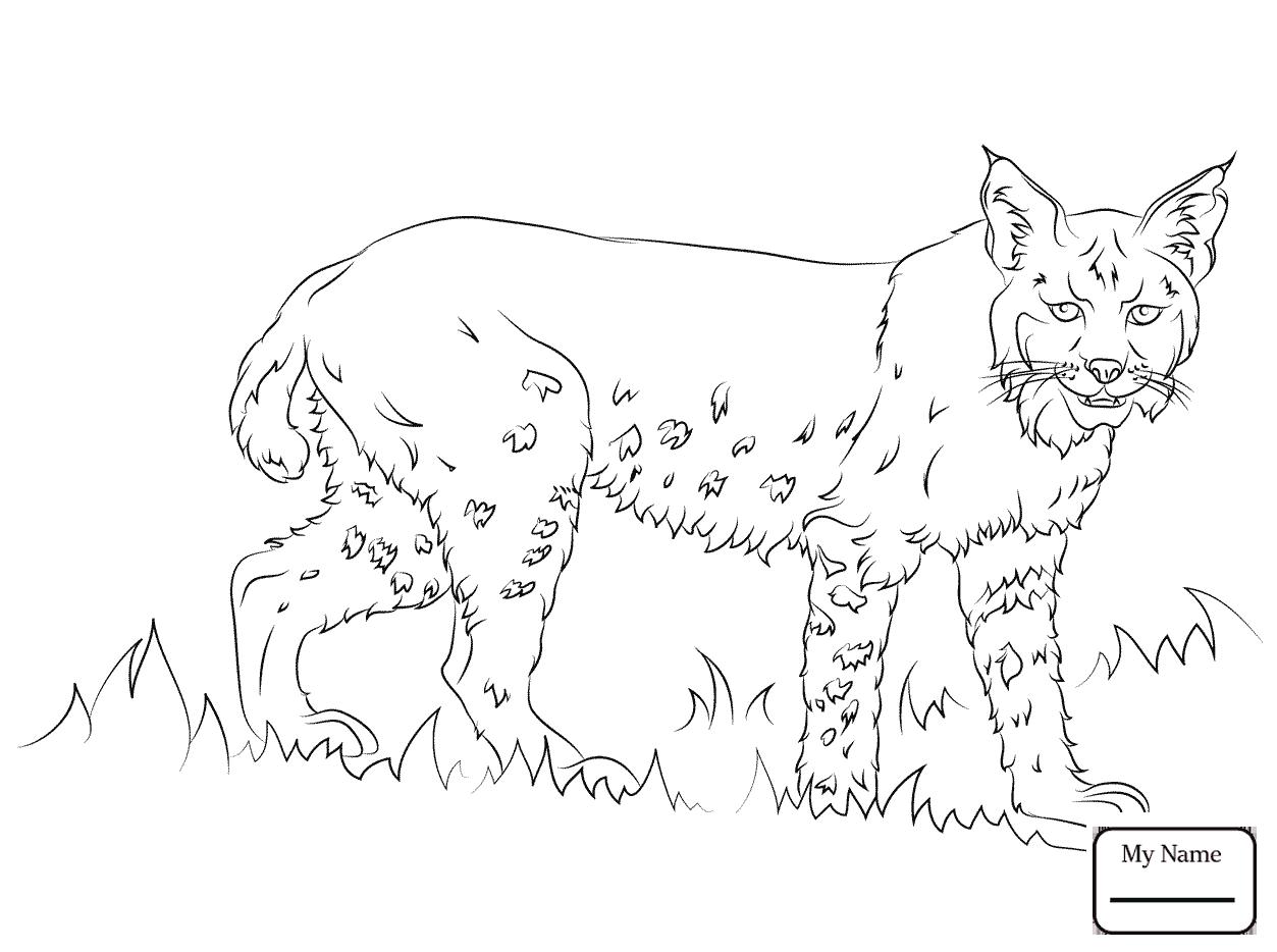 1253x934 Bobcats Bobcat Laying Down Mammals Coloring Pages