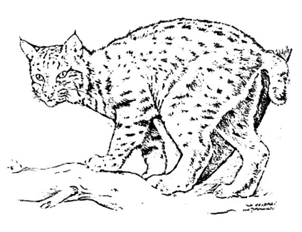 600x461 Bobcat Coloring Pages For Adults Awesome Coloring Pages For Adults