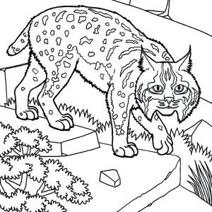 300x300 Bobcat Coloring Pages