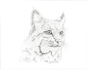 300x240 Bobcat Drawings