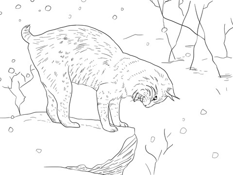480x360 Bobcat Lynx Wildcat Coloring Page Free Printable Coloring Pages
