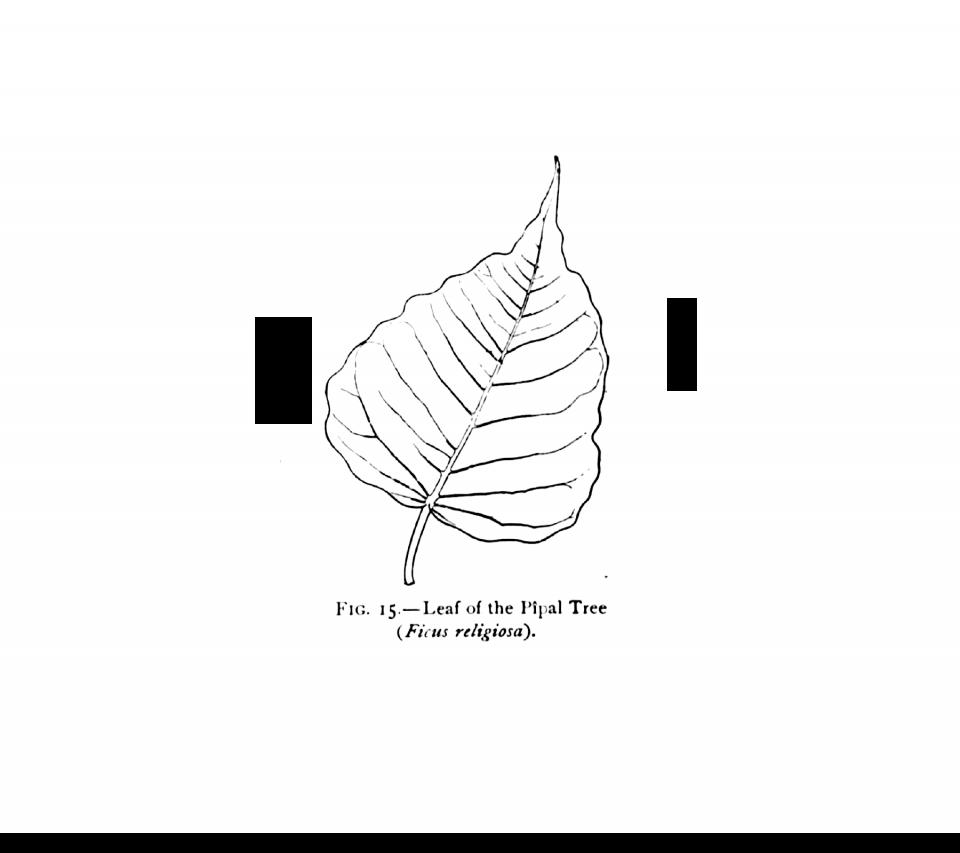 960x853 15. Leaf Of Pipal Tree (Ficus Religiosa).