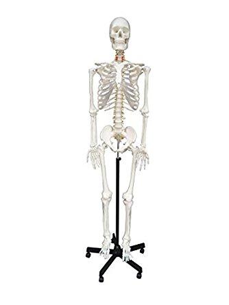 334x445 Wellden Medical Anatomical Human Skeleton Model, 170cm, Life Size