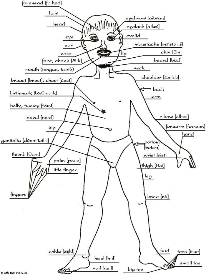 700x935 Parts Of The Body Diagram Diagrams For All
